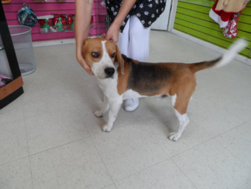 "This is ""Blackie"" a 3 year-old male intact Beagle. Unfortunatley, this Holiday Season his owners needed to give him up due to financial difficulties. He has been living in a grooming salon where he has been taken care of by the owner named ...Daisy. Daisy along with the Boyton family have been trying to find him a loving home. He loves kids, gets along very well with other dogs and is as friendly as can be! If anyone is interested or knows of a responsible loving family that is willing to welcome ""Blackie"" into their homes please inquire @ our office: 954-680-7730 or @ the grooming salon @ 954-437-3958."